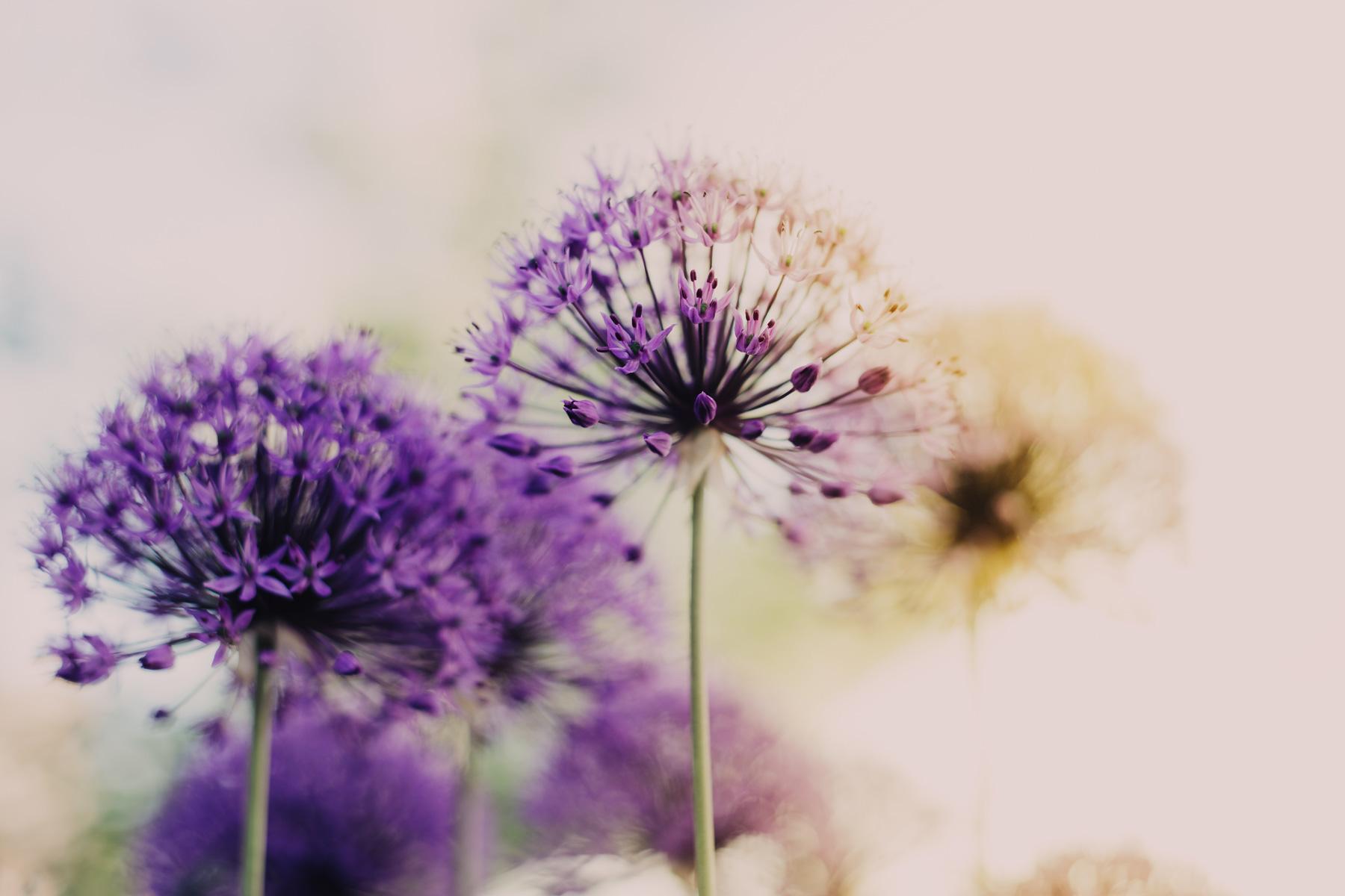 Hintergrundbild Alliumblumen