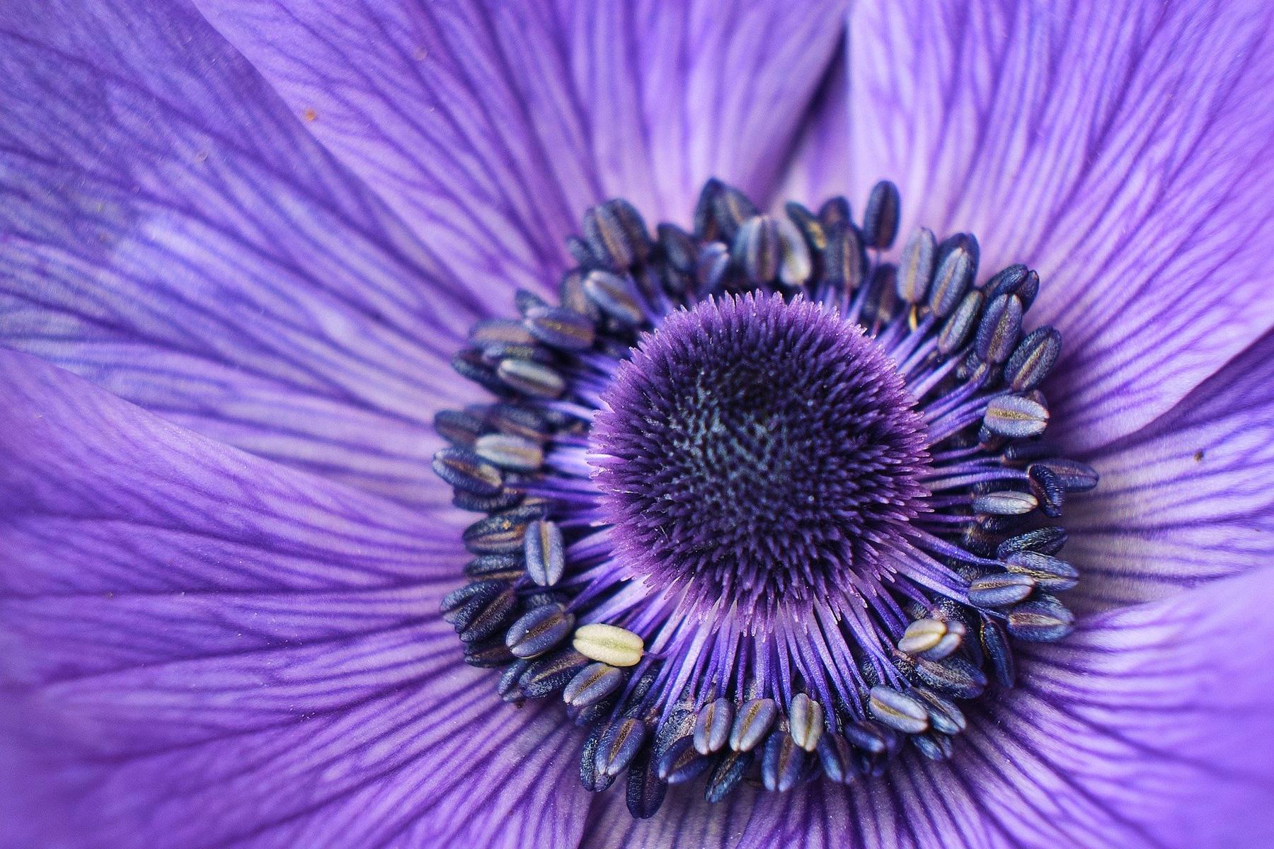 Hintergrundbild Blumenblüte violett